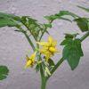 Tomato2006_05070004