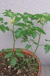Tomato2006_05070005