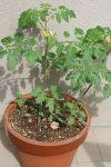 Tomato2006_05110002