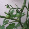 Tomato2006_05250011